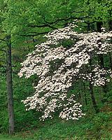 Dogwood tree in bloom; Shenandoah National Park, VA