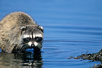 Racoon feeding in tidepool, Olympic National Park, Washington