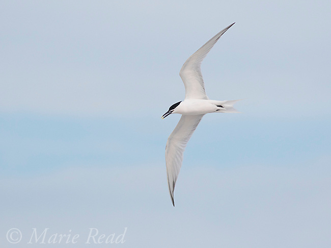 Sandwich Tern (Sterna sandvicensis) in flight, Fort De Soto Park, Florida, USA