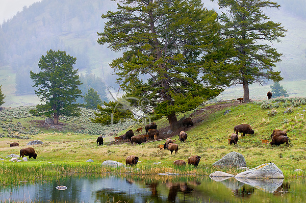 Bison herd feeding near a small pond in Yellowstone's Lamar Valley on a cloudy, rainy day.  Yellowstone National Park, spring.