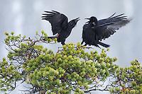 Raven (Corvus corax), Flatanger, Norway.
