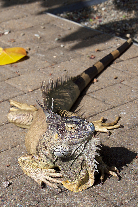 Grand Cayman. Blue iguana.