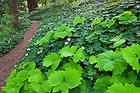 Mulched path with Achlys triphylla (Vanilla Leaf) and Redwood Sorrel, shady woodland groundcover in California native plant garden, Tilden, East Bay Regional Park