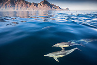 long-beaked common dolphin, Delphinus capensis, False Bay, South Africa, Atlantic Ocean