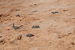 bby turtles hedging at bartolome beach