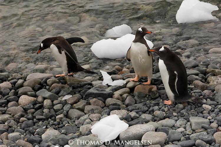 Gentoo penguins on the rocky shore of Neumayer Channel, Antarctica.