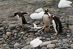 Gentoo penguins on the rocky shore of Neumayer Channel, Antarctica.