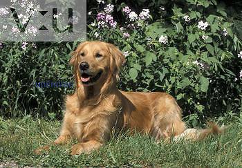 Golden Retriever breed of Domestic Dog.