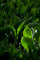 Convallaria majus Lily of the Valley backlit, mass of glowing plants and leaves foliage in summer