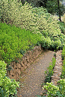 Pathway in deer resistant garden with Ribes sanguineum 'Inverness White', Helleborus argutifolius (Corsican hellebore) and Euphorbia amygdaloides  v. robbiae.
