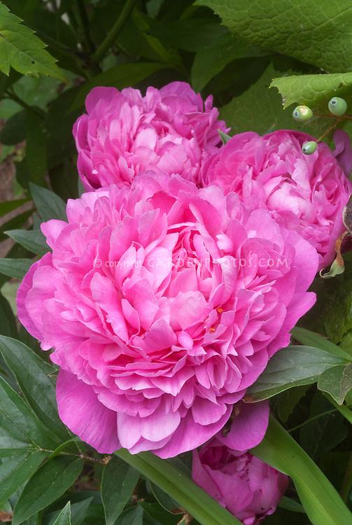 Paeonia Kansas herbaceous peony pink