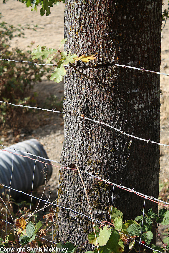 An oak trunk has begun to grow around barbed wire fencing along Reynold's Highway outside of Willits in Mendocino County in Northern California.