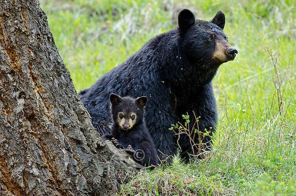 Wild Black Bears (Ursus americanus)--sow with young cub.  Western U.S., Spring.