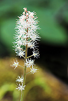 A Foam-flower wildflower on the great smoky mountains, USA - Free nature stock photo.