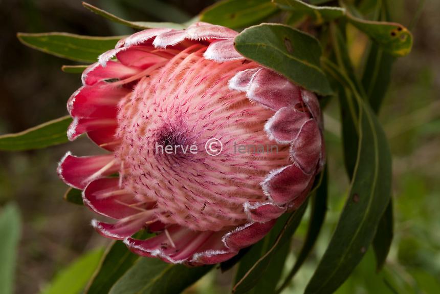 Domaine du Rayol en novembre : dans le jardin d'Afrique du sud, évocation du fynbos avec ici Protea neriifolia, protée à feuilles de laurier-rose