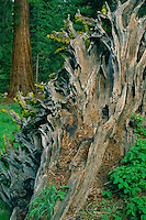 Giant sequoia trunk<br />