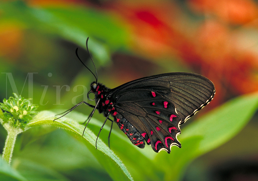 """PARIDES PHOTINUS, """"""""Pink-spotted Cattleheart Butterfly"""""""", a Central & South American (Neotropical) butterfly, at Audubon Zoo.  Subfamily - Papilioninae; Family - Papilionidae; Order - Lepidoptera; Class - Insecta; Phyllum - Arthropoda; Kingdom - Anima lia."""