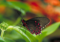 "PARIDES PHOTINUS, """"Pink-spotted Cattleheart Butterfly"""", a Central & South American (Neotropical) butterfly, at Audubon Zoo.  Subfamily - Papilioninae; Family - Papilionidae; Order - Lepidoptera; Class - Insecta; Phyllum - Arthropoda; Kingdom - Anima lia."