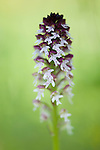Burnt Tip Orchid, Orchis ustulata in Hay Meadow - Clattinger farm, Wiltshire. This habitat has been reduced in the UK through intensified farming by 98% since the second world war and is highly endangered.