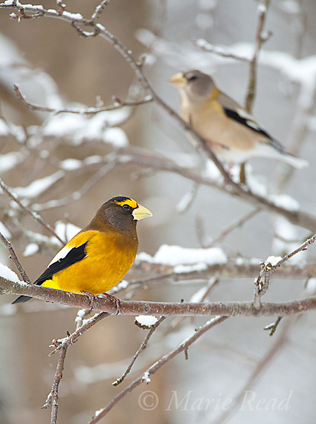 Evening Grosbeaks (Coccothraustes vespertinus), male and female in winter, Madison County, New York, USA