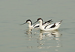 Avocets at Mai Po WWF reserve, Hong Kong  Pied Avocet, Recurvirostra avosetta at Mai Po reserve.The WWF Mai Po refuge at Deep Bay in Hong Kong is a wetland haven for thousands of migratory birds during autumn and winter.