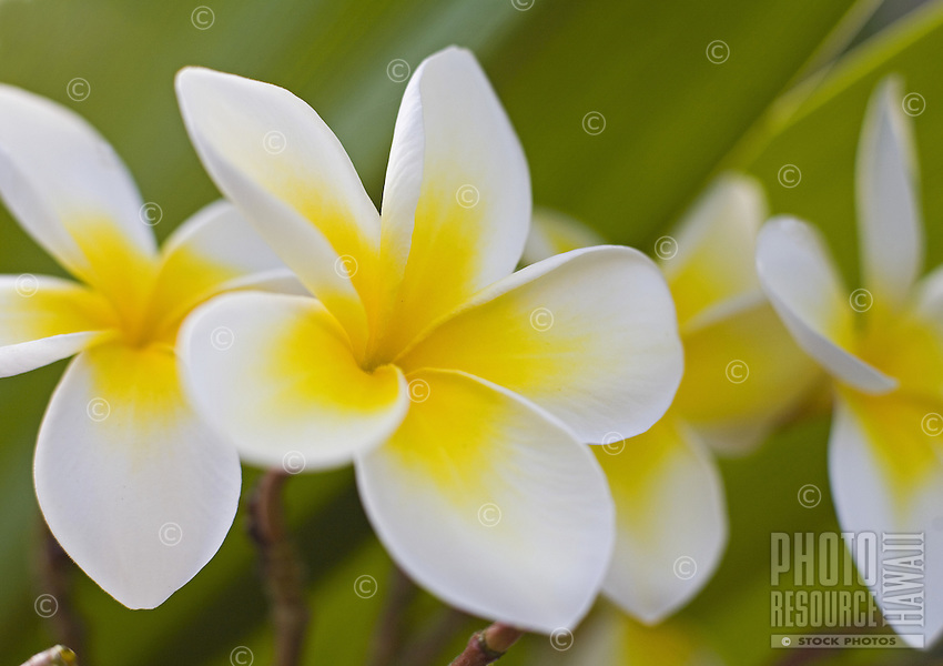 "Plumeria flowers, a fragrant blossom deeply tied to Hawaii and its culture, also called """"frangipani"