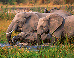 African elephants, Chobe National Park, Botswana