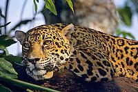 Jaguar (Panthera onca).  Central America.