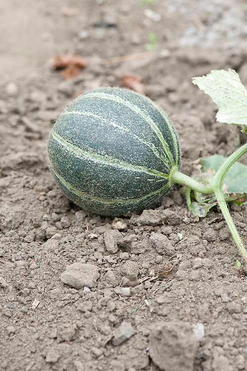 An 'Ogen' melon, grown outdoors, mid September. Reputedly named after the kibbutz in Israel where the prototype was first bred.