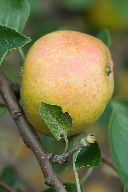 """Apple 'Nutmeg Pippin', mid September. An English dessert apple from the 1920s - possibly earlier. """"A small but beautifully marked golden Apple with an intricate network of bronze russeting. Ready for picking in early October, they will store at least until January. but the flavour is so good there are unlikely to be enough to last that long! The firm creamy flesh has an intense, aromatic flavour with a subtle, spicy nutmeg-like flavour. Makes an upright tree which crops well."""" (Chris Bowers)"""