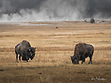 October 8 thru October 21, 2017 / Cross country Trip to Yellowstone National Park in Yellowstone, Wyoming.  Bison graze as steam from one of the many hot springs rises in the background.   Stops in Laramie, Jackson, Yellowstone with travels thru Pennsylvania, Ohio, Indiana, South Dakota, Wyoming, Montana, North Dakota, Missouri, Minnosota, and Illanois.