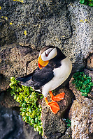 Horned Puffin on a rocky ledge, St. Paul Island, Pribilof Islands, Alaska.
