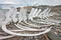 blue whale skeleton, Balaenoptera musculus, on the shore at Port Lockroy, Antarctica, Southern Ocean