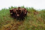 Brown bears, McNeil River Bear Sanctuary, Alaska
