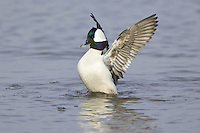 Bufflehead preening while swimming on a lake