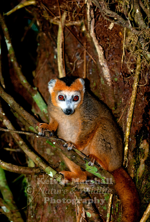 The Crowned lemur (Eulemur coronatus) is a lemur that is 31&ndash;36 cm (12-15 inches) long and weighs 2 kg. Its tail is about 42&ndash;51 cm long. The crowned lemur is endemic to the dry deciduous forests of the northern tip of Madagascar. <br />