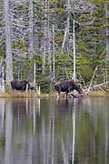 Nancy Brook Scenic Area - Moose on the side of Nancy Pond in the White Mountains, New Hampshire USA