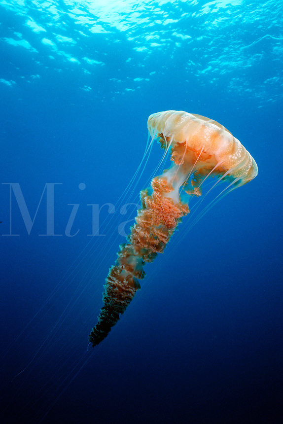 Giant Jellyfish, Chrysaora sp ., California, Pacific Ocean
