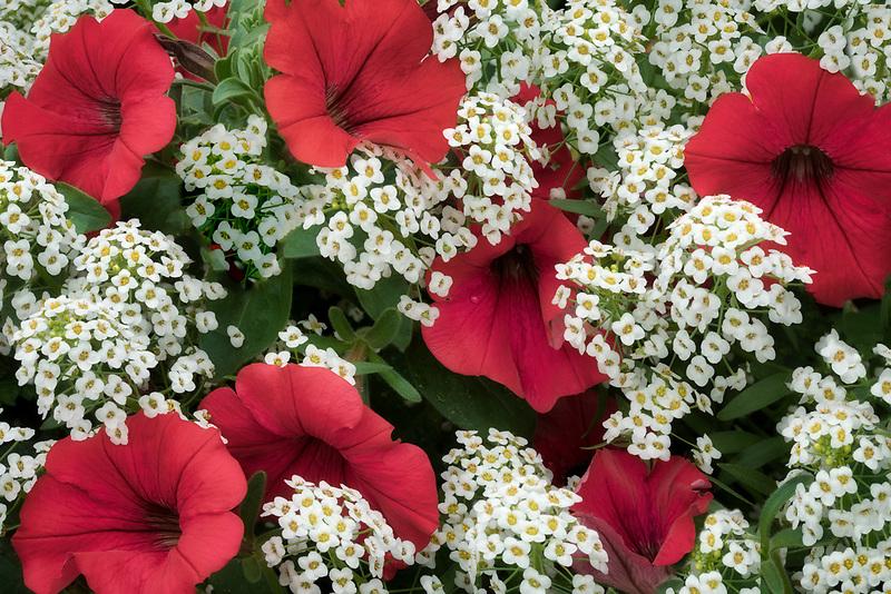 Close up of petunia and alysum flowers. Oregon