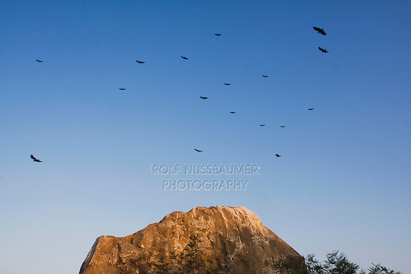 Turkey Vulture (Cathartes aura), adults in flight at roost, Rio Grande Valley, Texas, USA