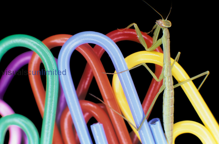 Tiny Praying Mantis (Tenodera aridifolia) on paper clips.