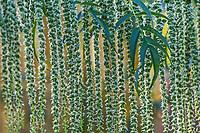 Datisca cannabina, False Hemp flowering pendulous racemes in Soest Herbaceous Display Garden, University of Washington Botanic Garden, Center for Urban Horticulture, Seattle