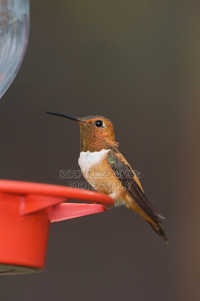 Rufous Hummingbird, Selasphorus rufus, male at feeder, Paradise, Chiricahua Mountains, Arizona, USA