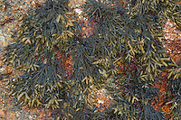 Rinnentang, Rinnen-Tang, Pelvetia canaliculata, Channelled wrack, Cow Tang, Channel Wrack