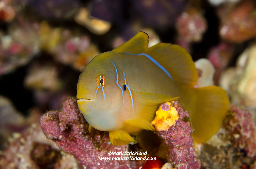 Lemon Coralgoby, Gobiodon citrinus, Bligh Water, Fiji, Pacific Ocean