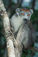 Crowned Lemur (Eulemur coronatus), female in tree, Madagascar, Africa
