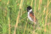 Rohrammer, Rohr-Ammer, Rohrspatz, Männchen, Emberiza schoeniclus, reed bunting, common reed bunting, male, Le Bruant des roseaux