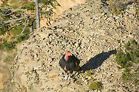 California Condor (Gymnogyps californianus).  Western U.S.
