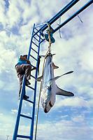 thresher shark, Alopias sp., sport fishing trophy catch, Cabo San Lucas, Mexico, Baja, Pacific Ocean