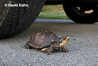 1003-0805  Male Eastern Box Turtle Crossing Paved Road Under Car and Tires - Terrapene carolina © David Kuhn/Dwight Kuhn Photography